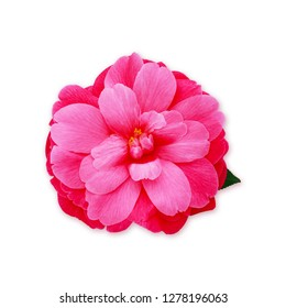 Pink Camellia Flower,  isolated on white. Camellia japonica Mrs. Tingley, closeup