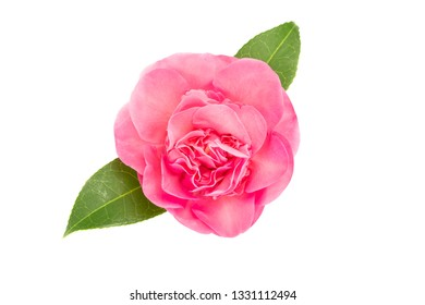Pink camellia flower isolated on white background. Camellia japonica
