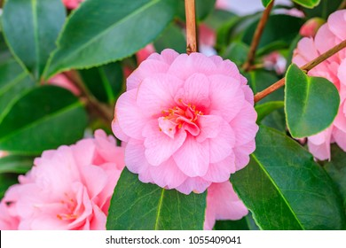 "Pink Camellia Flower on Camellia Bush in the garden,  close up. Camellia japonica "" Spring Festival"""