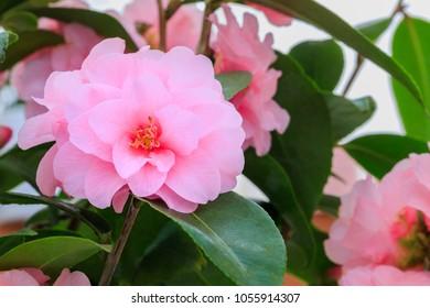 "Pink Camellia Flower on  Camellia bush,  close up. Camellia japonica "" Spring Festival"""