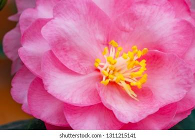 "Pink Camellia Flower. Pink Camellia Flower on Camellia Bush in the garden,  close up. Camellia japonica "" Spring Festival"""