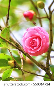 Pink Camellia flower,beautiful pink flower and buds blooming in the garden