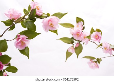 Pink camellia flowers in front of white background