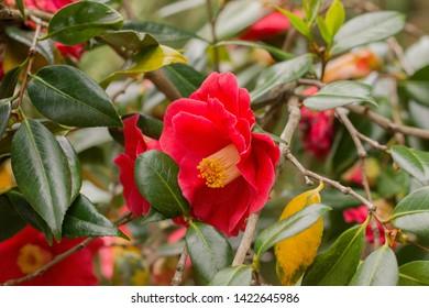 Pink camellia japonica flower, the Czar. At the botanical garden Berlin-Dahlem, Germany