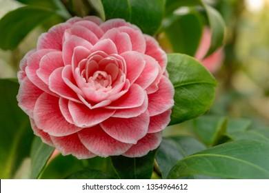 Pink Camellia japonica Giardino Schmitz. Close-up of a beautiful Pink Camellia japonica in Spring. View of a flowering Camellia japonica Flower.