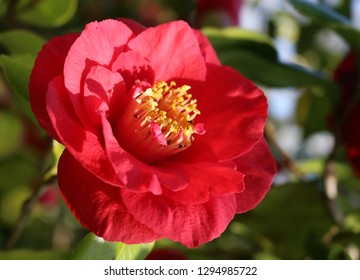 A pink Camellia japonica, Japanese camellia, or Tsubaki in Japanese
