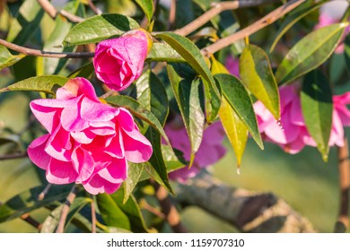 pink camellia shrub with flowers and buds