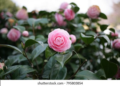 Pink camellia(camellia japonica) flower blooming in the garden at the middle of sunny spring day with green leaf