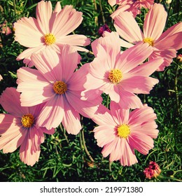 Pink camomile like flowers - vintage effect. Cosmos flowering plant - retro photo filter. Blooming flowers in Gorky Park - toned image. Moscow, Russia.