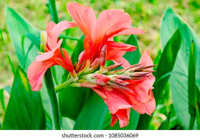 Pink Canna lily flower, Nice flower plant