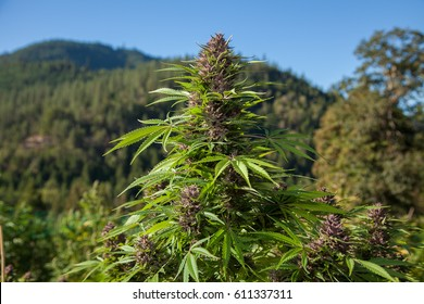Pink Cannabis Flower in the Mountains