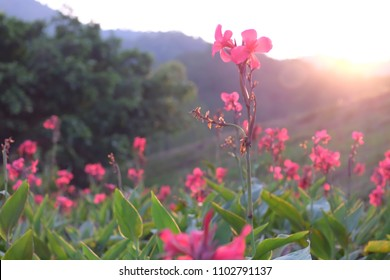 Pink Cannas, Canna commonly known as Indian shot, African arrowroot, edible canna, is the only genus in the family Cannaceae. Full blooming flowers There is a mountain back, Sky and clouds