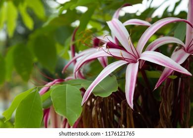 cape lily images stock photos vectors shutterstock