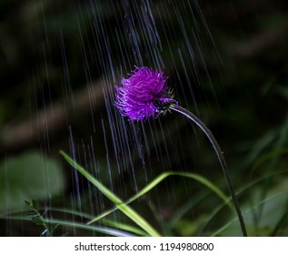 Pink Cardoon in the Dolomite Mountains in the black forest over the rain.