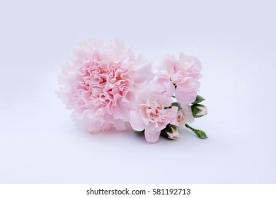 Pink Carnation flower isolated on white background. Shallow depth of field. Selective focus
