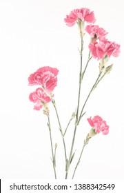 Pink carnation flower on white background