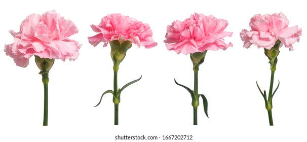 Pink Carnation flowers on isolated white background.Floral object.clipping path