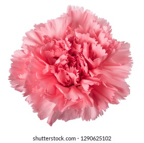 Pink carnation head isolated on white background