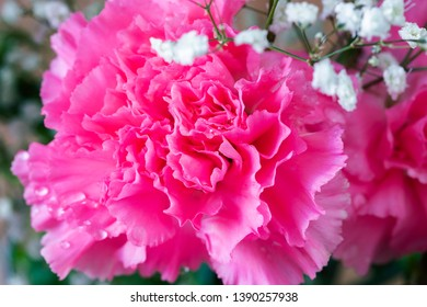 Pink carnation with water drops.