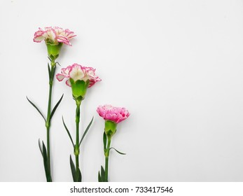 Pink carnation in white background