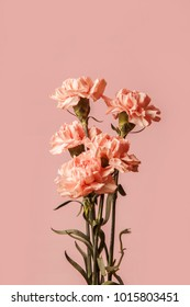 Pink carnations isolated on pink background