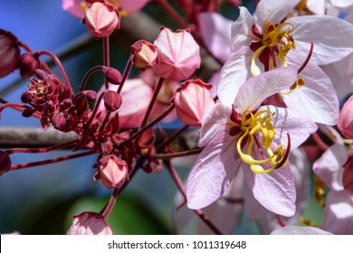 """""""Pink cassia"""" Cassia bakeriana Craib ; Showing colorful large bouquet on high tree, white deep pink. long flower stalk. will fully bloom over tree on summer season. close up, natural sunlight."""