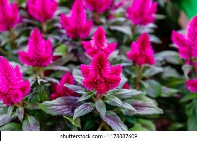 Pink Celosia argentea Flowers. Potted Celosia argentea Flowers on the counter in the store. Many flowering Celosia argentea plants.