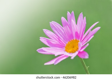 pink chamomile on green background