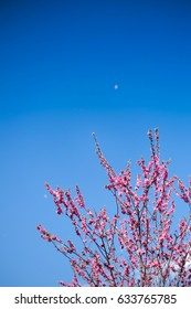 Pink Cherry Blossom against blue sky