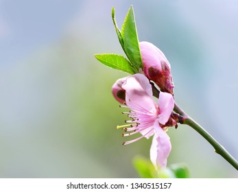 Pink cherry blossom blooming in spring