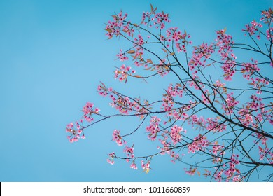Pink cherry blossom and blue sky in spring.