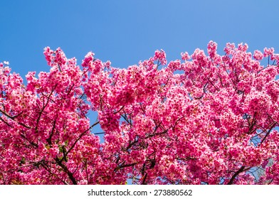 Pink cherry blossom   with blue sky background.