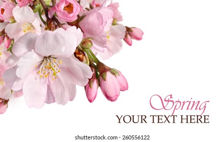 Pink cherry blossom border. Spring flowers isolated on a white background