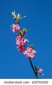 Pink Cherry Blossom in Branch