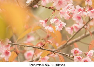 Pink cherry blossom flower background,Inthanon Chiangmai Thailand