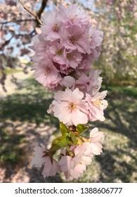 Pink cherry blossom flower in a garden in a city called Eskilstuna in Sweden
