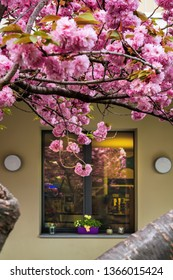 Pink cherry blossom in front of a window in Locarno, Switzerland