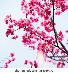 Pink cherry blossom in full bloom - Shutterstock ID 386959972