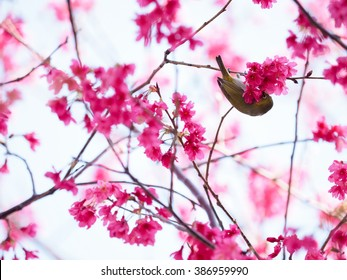 Pink cherry blossom in full bloom - Shutterstock ID 386959990