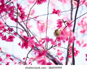 Pink cherry blossom in full bloom - Shutterstock ID 386959999