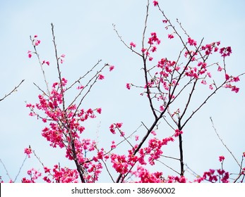 Pink cherry blossom in full bloom - Shutterstock ID 386960002