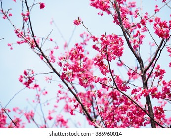 Pink cherry blossom in full bloom - Shutterstock ID 386960014