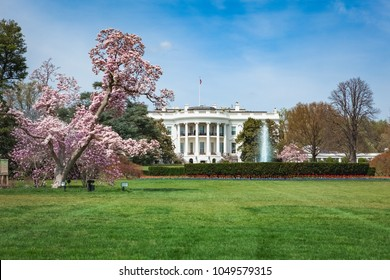 Pink cherry blossom and magnolia trees blooming at the White House in Washington, DC during the springtime