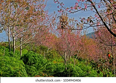 Pink Cherry Blossom on the mountain, Thailand