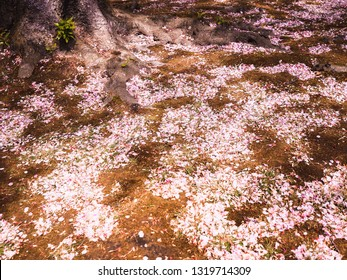 Pink cherry blossom petal falling on the ground in spring season of Japan