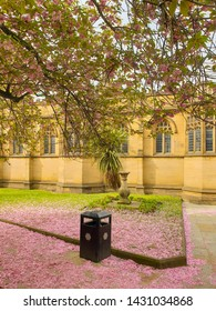 Pink cherry blossom petals covering the ground under a sakura tree outside Manchester Cathedral in spring
