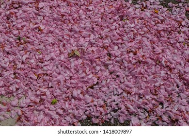 Pink cherry blossom petals falling on the ground.Beautiful petals of pink cherry blossom covered on ground. Petal wallpaper background.