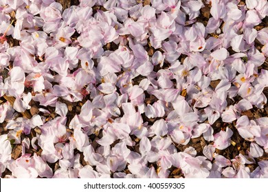 Pink cherry blossom petals and flowers scattered on the ground