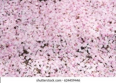 Pink cherry blossom petals on ground