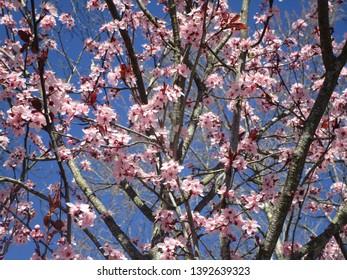 Pink cherry blossom sakura in bloom 2019